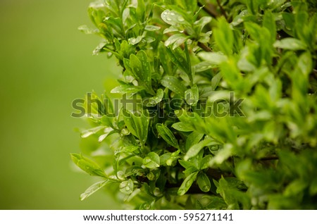 Fresh green leaves with water drops. Close-up of evergreen bush boxwood in the nature. Greenery, natural pattern, nature texture.
