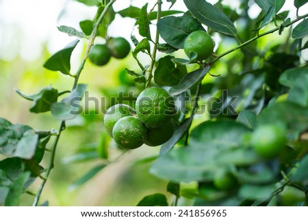 Fresh green lemon or lime on tree. - stock photo