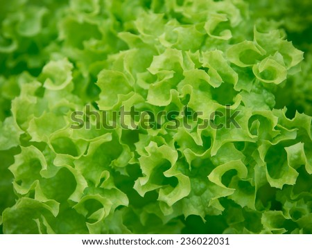 Fresh green Lettuce background - stock photo
