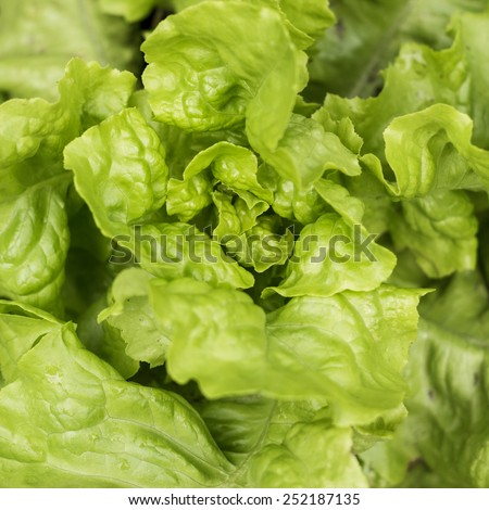 fresh green lettuce growing in the soil close-up - stock photo