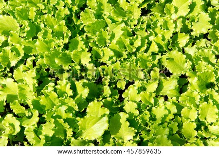 fresh green lettuce growing on a bed in the garden. Vitamin diet for weight loss. - stock photo