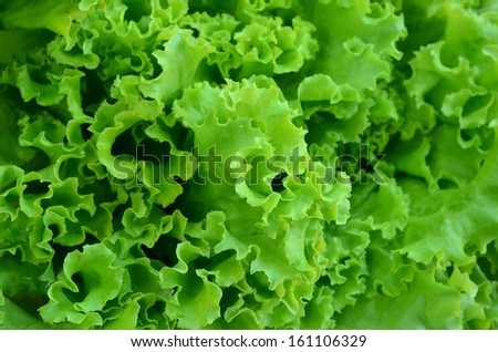 fresh green lettuce leaves - stock photo