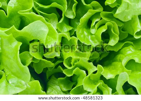 Fresh green Lettuce salad background - stock photo
