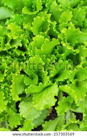 Fresh green lettuce salad closeup - stock photo