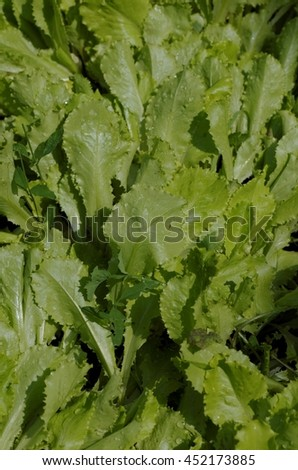 Fresh green lettuce salad leaves close-up.