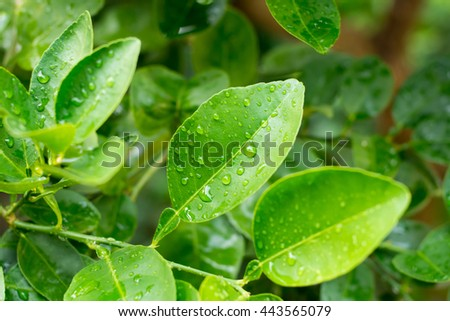 fresh green lime leaves with drops background