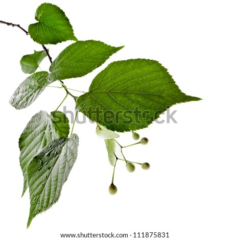 Fresh green linden leaves border isolated on white with copy space