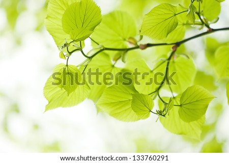 Fresh green linden leaves outdoors - stock photo