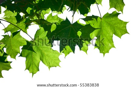 Fresh green maple leaves isolated on a white background - stock photo