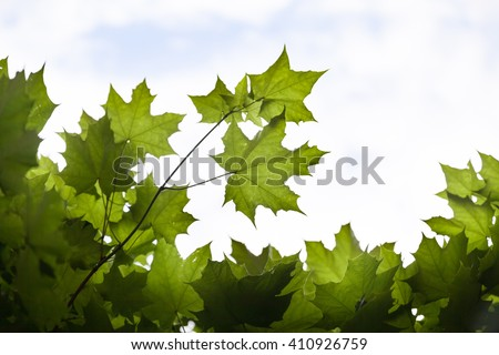 fresh green maple leaves on the blue sky background. Trees outdoor. - stock photo