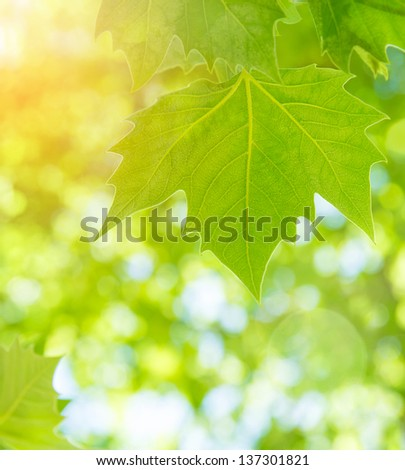 Fresh green maple leaves over blurred foliage background, sun light, spring season, abstract natural border - stock photo