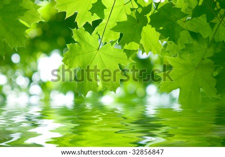 Fresh green maple leaves reflect in a water - stock photo