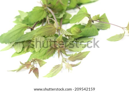 fresh green Mexican dream herb on a light background - stock photo