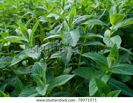 fresh green mint - stock photo