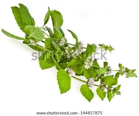 Fresh green mint flowering  macro shot isolated on white background - stock photo