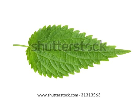 Fresh green nettle isolated on a white - stock photo