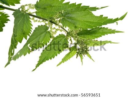 fresh green nettle isolated on white - stock photo