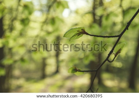 fresh green, new beech tree leaves in a forest  - stock photo