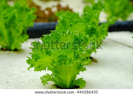 Fresh green oak salad growing on white foam, using hydroponic system for food background - stock photo
