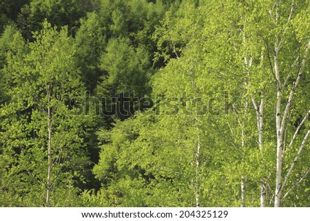 Fresh Green Of Birch Forest