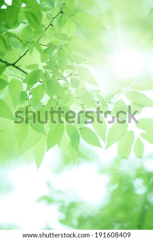 Fresh green of zelkova