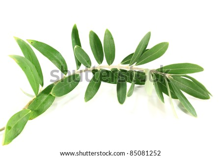 fresh green olive branch on a white background