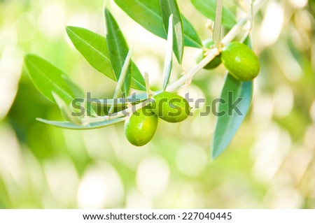 Fresh green olives on tree branch - stock photo
