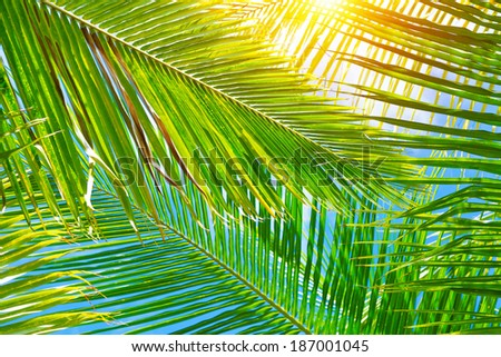 Fresh green palm leaves background, bright sun light through exotic foliage, beauty of tropical nature, summer vacation concept - stock photo