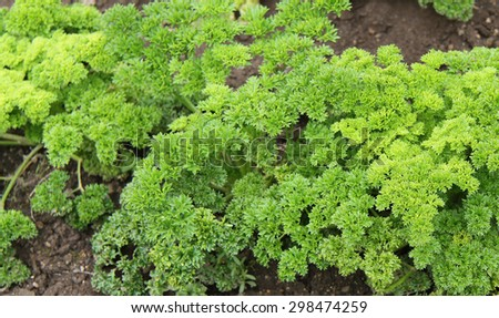 Fresh Green Parsley Growing in a Herb Garden. - stock photo