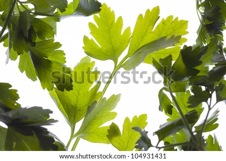fresh green parsley in back-light - stock photo