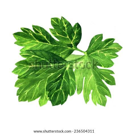 fresh green parsley on white background. - stock photo