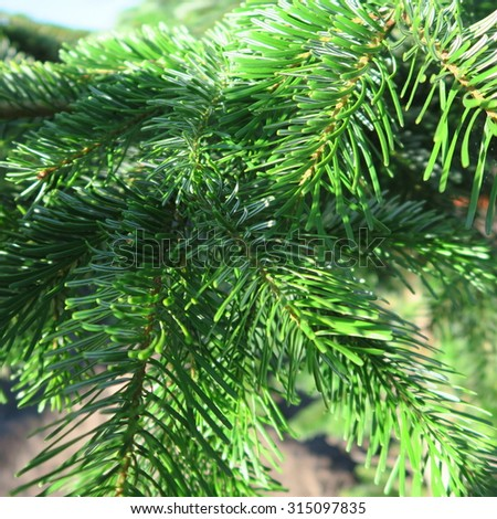 fresh green pine needles on a tree in summer