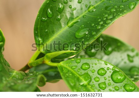 Fresh green plant leaves with water drops, close-up shot - stock photo