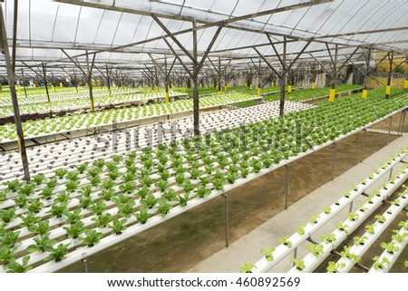 Fresh green salads in the farm using hydroponic system