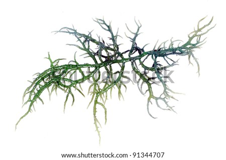 fresh green seaweed isolated on white background - stock photo
