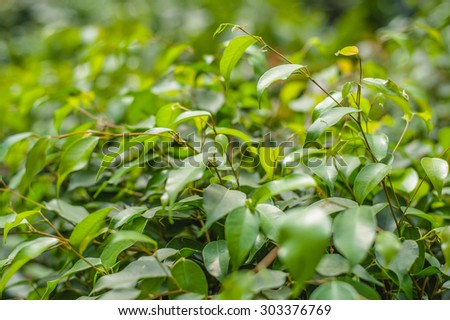 Fresh green shiny ficus tree leaves - stock photo
