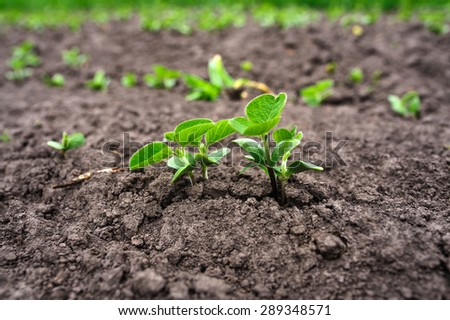 Fresh green soy plants on the field in spring, selective focus - stock photo
