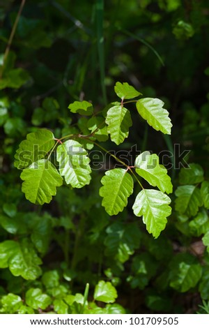 Fresh green sprigs of poison oak - stock photo