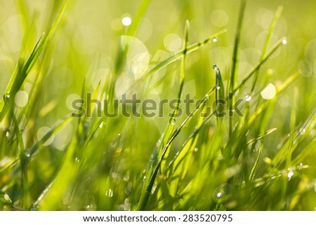 Fresh green spring grass with dew drops closeup towards the sunlight. Abstract nature background with bokeh - shallow depth of field. - stock photo