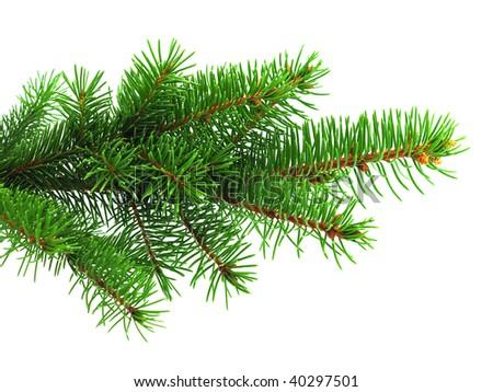 Fresh green spruce branch on white background - stock photo