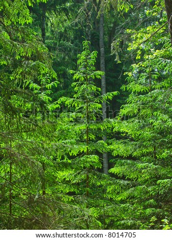 Fresh green spruces illuminated by summer bright sun