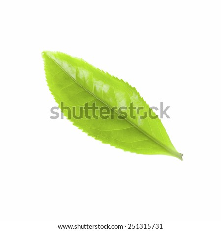 Fresh green tea branch Isolated white, real Chinese tea bushes - stock photo