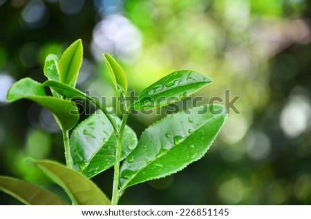 Fresh green tea bud and dew, Tea plantations - stock photo