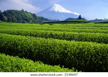 Fresh green tea fields with snow-capped Mount Fuji - stock photo