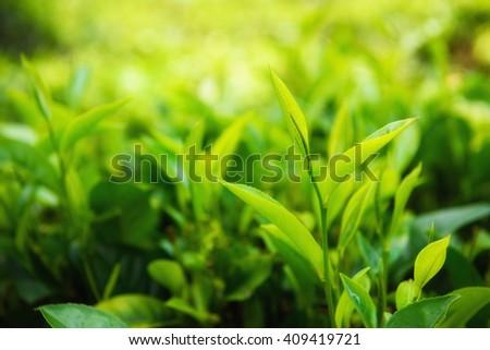 Fresh green tea leaves and pekoe buds on tea plantation - stock photo
