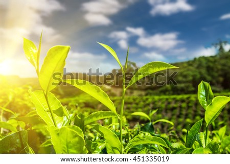 Fresh green tea leaves at plantation under sunset sky. Nature landscape of Cameron highlands, Malaysia