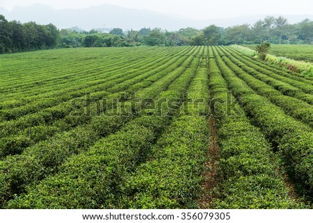 Fresh green tea plantation at TaiWan