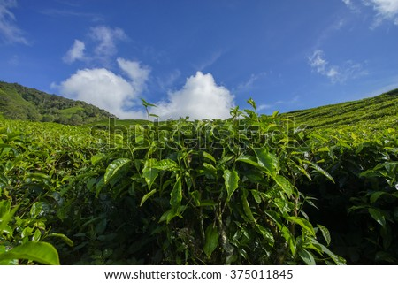 Fresh green tea plantation view near the mountain with beautiful blue sky at Cameron Highlands, Malaysia. Nature composition. Selective Focus. - stock photo