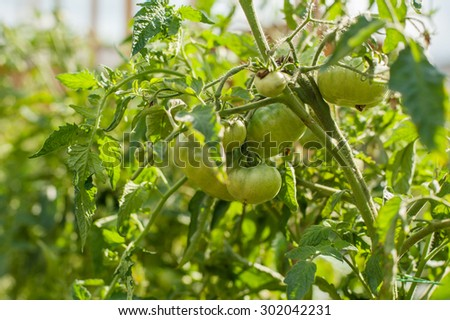 fresh green tomatoes growing in the garden in summer - stock photo