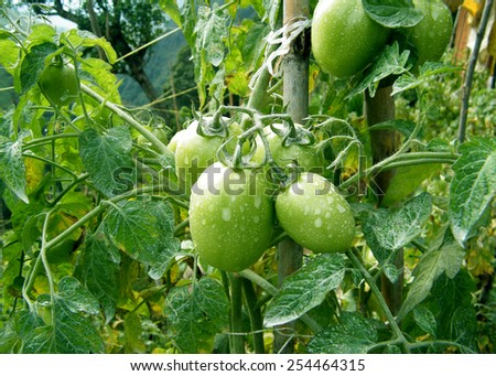 Fresh green tomatoes ready for picking - stock photo